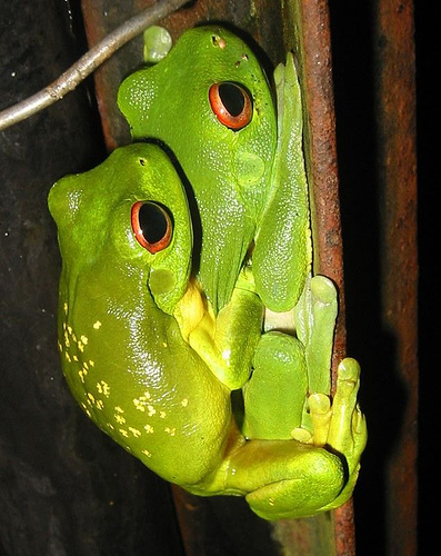 Size:442x500 - 102k: Red Eye Tree Frog Tattoos