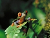 red-eyed-tree-frog-2.jpg