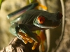 red-eyed-tree-frog-3.jpg