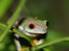 red-eyed-tree-frog-4.jpg
