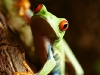 red-eyed-tree-frog-5.jpg