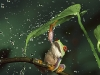 red-eyed-tree-frog-6.jpg