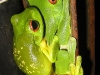 red-eyed-tree-frog-breeding-amplex.jpg