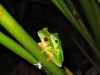 red-eyed-tree-frog-mating-1.jpg