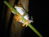 red-eyed-tree-frog-photographs.jpg
