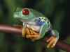 red-eyed-tree-frog-picture-1.jpg