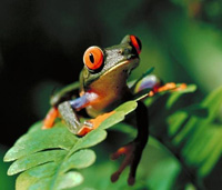 red eyed tree frog picture