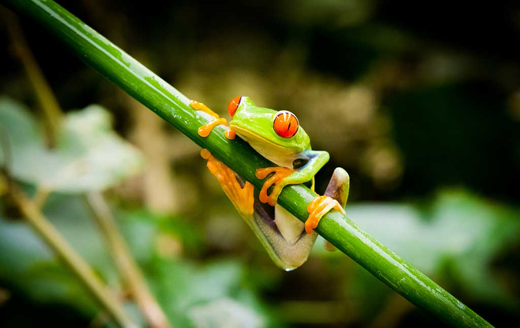 Maintenance for the Red Eyed Tree Frog Aquarium