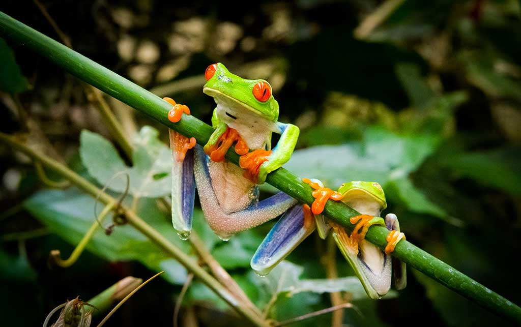 Red Eyed Tree Frog Information