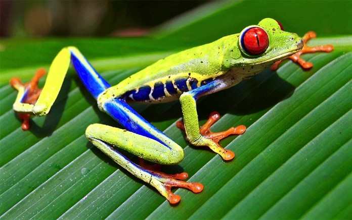 red eyed tree frog care guide