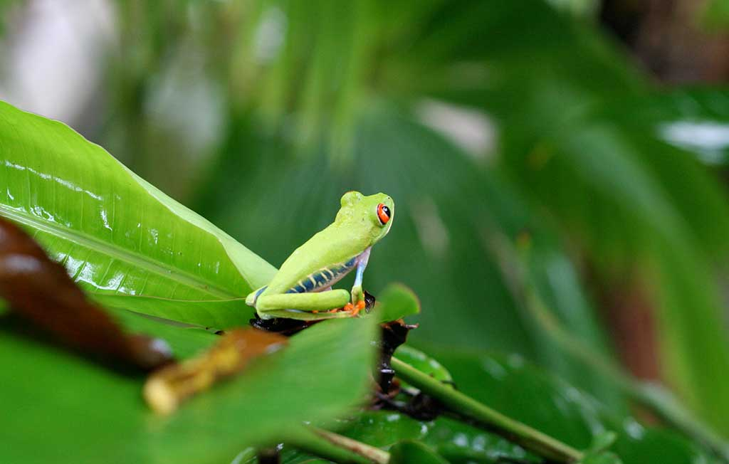 Red Eyed Tree Frog .org – No.1 Red Eye Frog Care