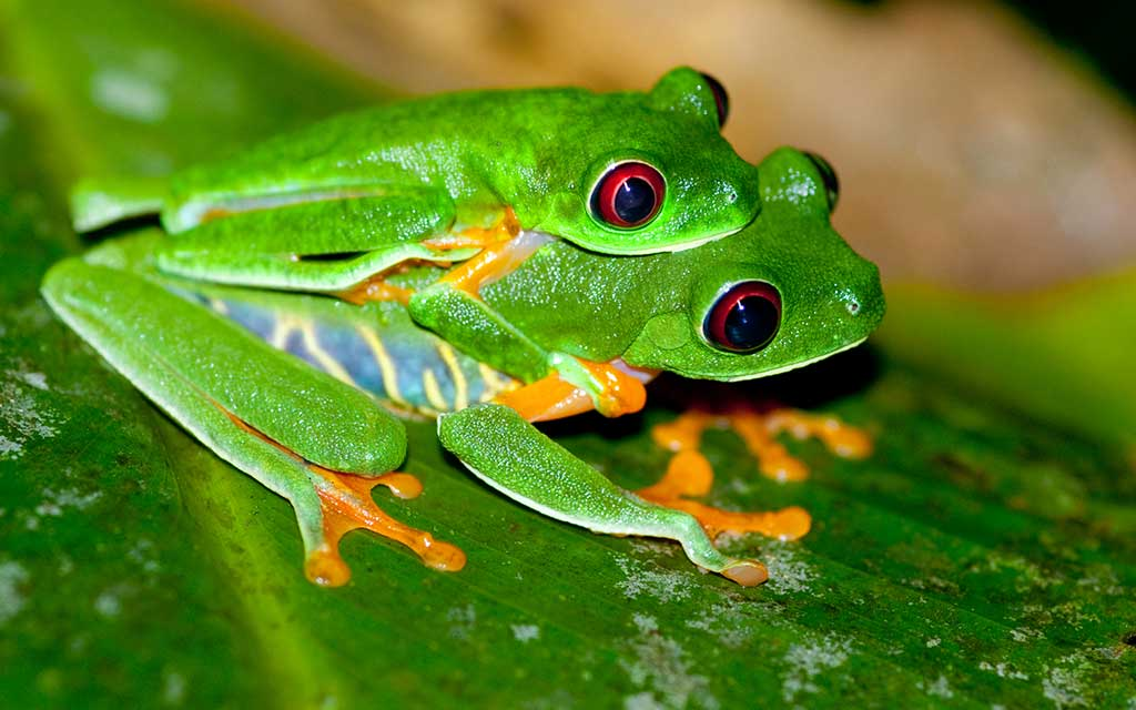 Red Eyed Tree Frog 01 - YouTube