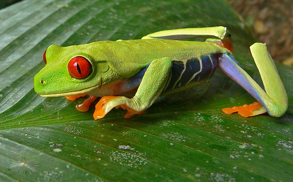 How To Prevent Red Eyed Tree Frog Illness