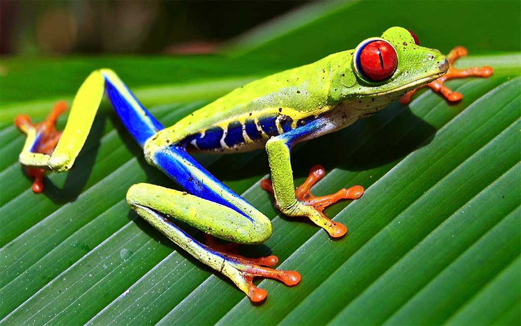 An Adorable Red Eyed Tree Frog Repeatedly Jumps Onto Coyote ...